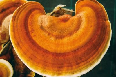 I 3 migliori funghi medicinali per il sistema immunitario